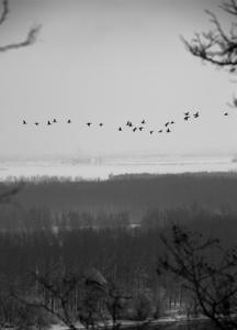 Dunavski letači  - © Janko Belaj