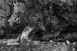 Šetnja u maslinu  - © Janko Belaj